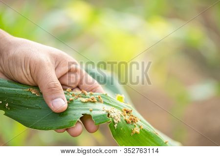 Farmer Working In The Field Of Corn Tree And Research Or Checking Problem About Aphis Or Worm Eating