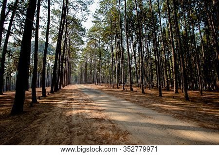 Road At A Pine Tree Forest.park Path Sunlight Scene. Spring Green Forest Of Pines In The Sun. Forest