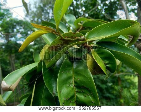 Young Green Soursop Laves Or Prickly Custard Apple. (annona Muricata L.) Plant For Treatment Of Carc