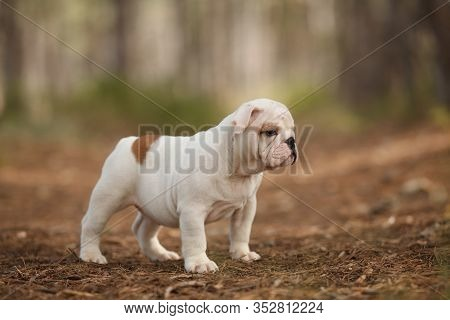 Cute English Bulldog Puppy Of Red And White Color On A Walk In The Woods. Place For The Inscription.