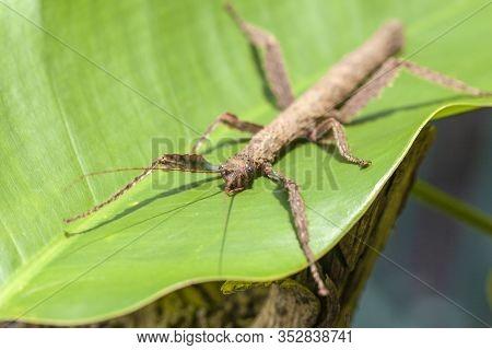 Tree-like Beetle, Annam Stick (baculum Extradentatum), Macro