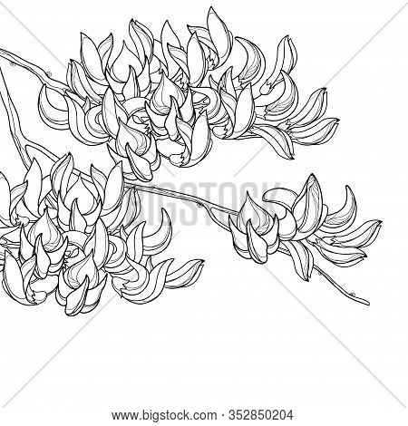 Vector Corner Branch Of Outline Tropical Butea Or Forest Flame Or Bastard Teak Tree Flower And Bud I