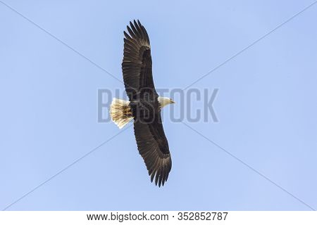 Flying Bald Eagle In Vancouver Bc Canada.