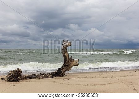 An Old Snag, Similar To A Deer, Lies On The Sand On The Shores Of The Baltic Sea In Windy Weather In