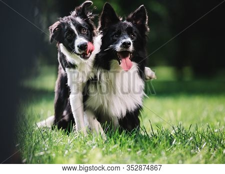 Two Beautiful Dogs Of Black And White Color Play On The Green Field. They Sit And Hug Each Other. On