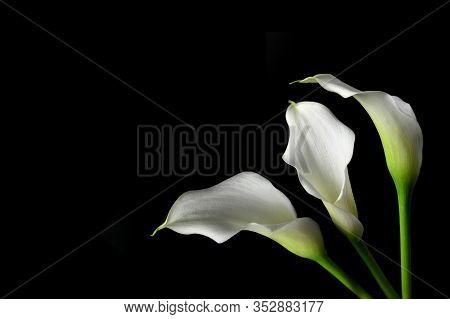 Sympathy Card With Calla Flowers Isolated On Black Background