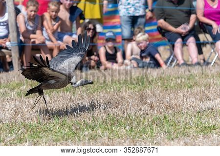 Close Up Of A White Backed Vulture (gyps Africanus) Flying In Front Of A Crowd Of People In A Falcon