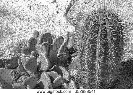Black And White Closeup Detalis Of Southwestern Desert Cactus With Sharp Spines