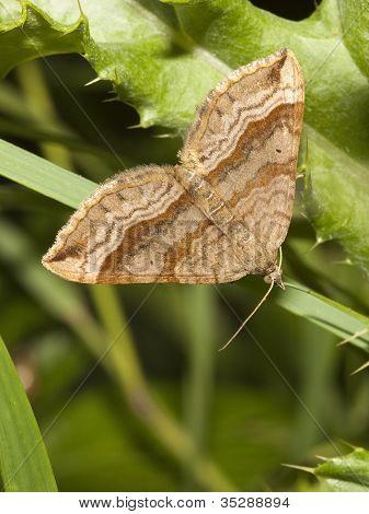 a triple bar moth aplocera plagiata resting on a grass leaf poster