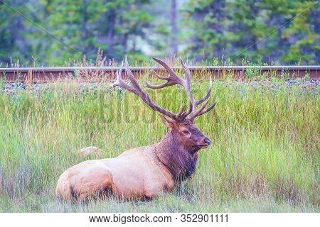 Male Elk Or Wapiti (cervus Canadensis) Lying Near The Rail Road In Jasper National Park. Alberta. Ca