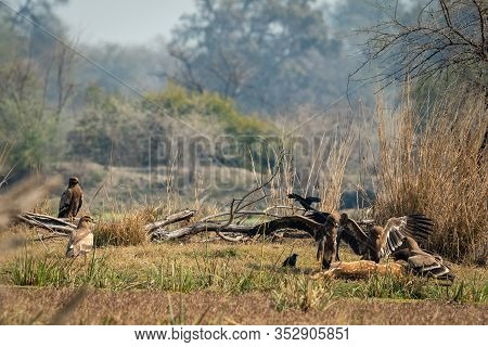 Steppe Eagle Flock Showing Dominance On Each Other With Aggression And Angry Expressions And Full Wi