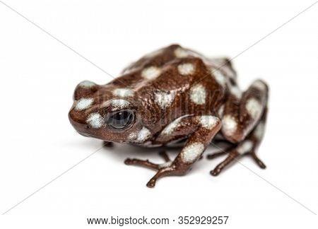 Maranon poison frog, Excidobates mysteriosus, isolated on white