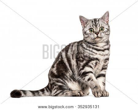 Sitting British Shorthair, isolated on white
