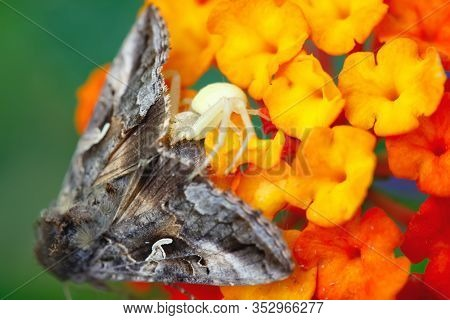 Crab spider Misumena Vatia eating large moth on a Lantana flower.