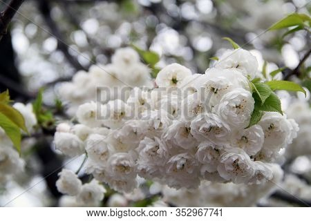 White Flowers Of A Tree. Blooming Tree In Spring. White Flowers Of Cherry Tree. Springtime. Branch O
