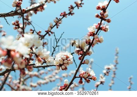 Apricot Tree Flowers With Soft Focus. Spring White Flowers On A Tree Branch. Template For Design. Ap