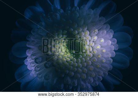Small Bushy Chrysanthemum Close-up, Macro Photo. Contrasting Magic Light. Yellow And Blue Shades. Th