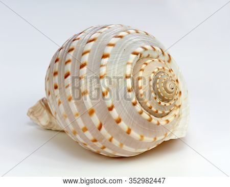 Sea Shell On A White Background. Close Up Of Beautiful Nautical Shell