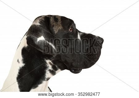 Portrait Of A Pedigree Great Dane Dog Isolated On A White Background