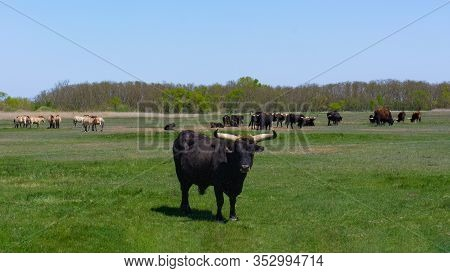 Aurochs And Wild Horses Stand In The Field In The Hortobagy National Park In Hungary