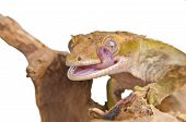 Crested gecko is licking his eye, isolated on white background. poster