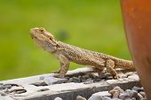 A Bearded Dragon Lizard (Pogona vitticeps) looking around on the wall. poster