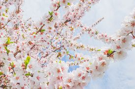 Soft Pink Blooming Japanese Cherry Close-up On A Sunny Spring Day. Soft Focus