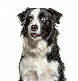 Headshot of a black and white Border Collie, isolated on white