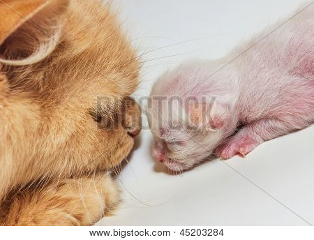 Portrait Of An Adult Cat And A Kitten Looking Deep Into Eachother's Eyes