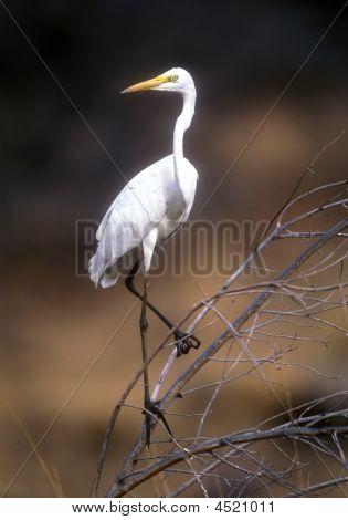 White Great Egret