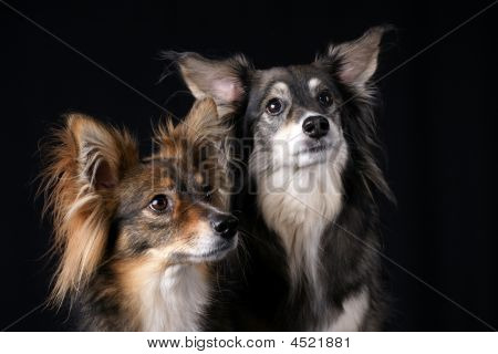 Two dogs looking attentively over black background poster