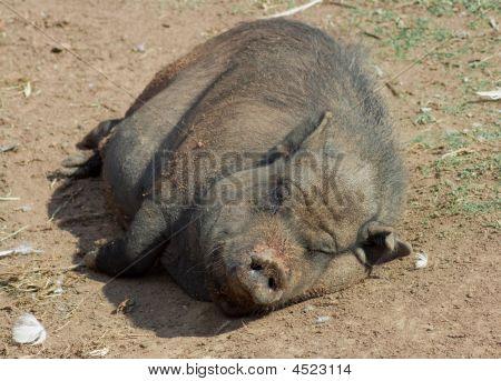 Wild Pig Lying In Mud