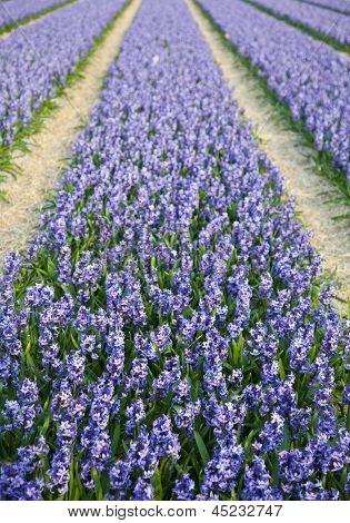 Field Of Beautiful Purple Dutch Hyacints