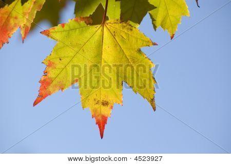 Maple Leaf Red Tip