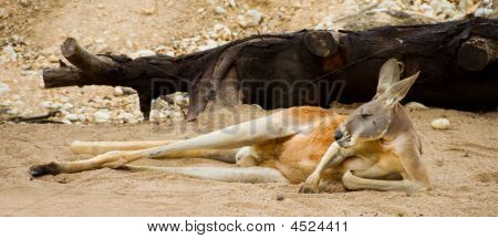 Red Kangaroo Resting in sand during heat of day poster