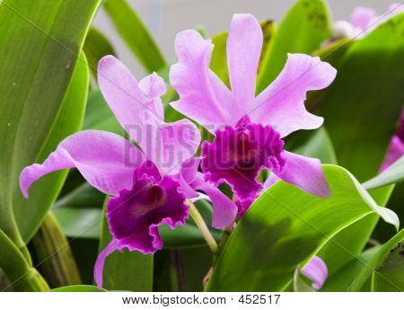 Twin Orchids