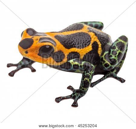 poison dart frog isolated, macro tropical exotic pet animal from Amazon rain forest in Peru. Beautiful cute animal, ranitomeya imitator
