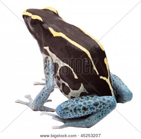 Poison arrow frog isolated on white, Dendrobates tinctorius, Patricia Tropical amphibian from Amazon jungle kept as an exotic pet animal poster