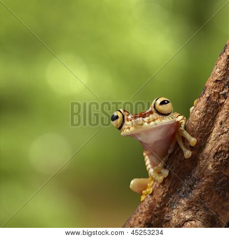 tree frog on branch in tropical jungle of Peruvian Amazon rain forest near Iquitos. Hypsiboas picturata on background with copy space. Treefrog with big eyes.