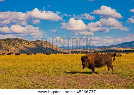 Bison enjoys the peace in Grand Teton National Park