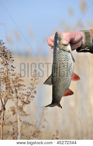 A fisherman's hand holding his catch a chub fish (Leuciscus Cephalus) common reed in the background poster