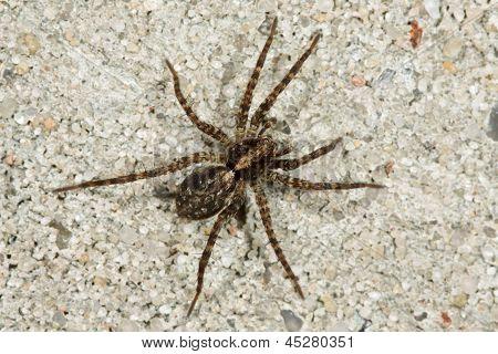 Spider Trochosa terricola