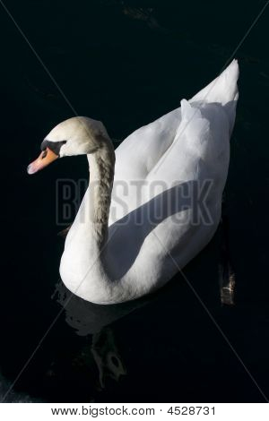 White Swan On A Black Lake