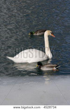White Swan And Mallard Ducks