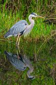Great blue Heron in Everglades NP,Florida poster