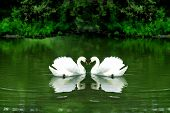 A photo illustration of a loving Swan couple on a Green Pond. poster