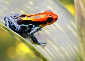 poison arrow frog bright red and blue. Exotic poisonous animal frog tropical Amazon rain forest in Peru beautiful amphibians often kept as pets in jungle terrarium a macro image. Ranitomeya amazonica poster