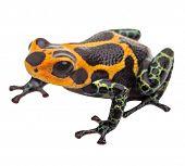 poison dart frog isolated, macro tropical exotic pet animal from Amazon rain forest in Peru. Beautiful cute animal, ranitomeya imitator poster