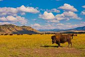 Bison enjoys the peace in Grand Teton National Park poster