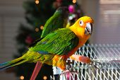 Cute Sun Conure and Green Cheek Parakeet poster